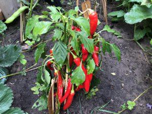 sambal maken - peperplant