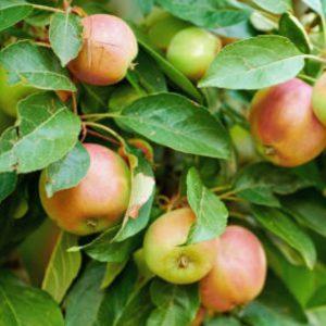 fruittuin appels plukken