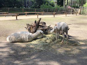 bestzoo alpaca's