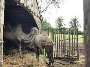 kamelen bestzoo